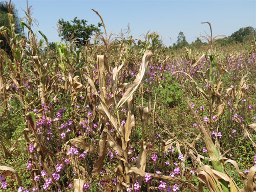 Thesis on integrated weed management in cowpea